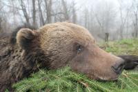 Medveď polovačka